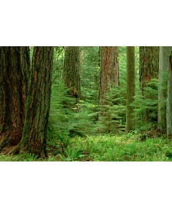 Gerry Ellis, Douglas Fir old growth forest,Vancouver