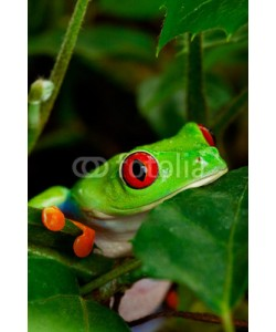 Brenda Carson, Red Eyed Tree Frog Closeup