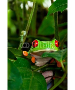 Brenda Carson, Red Eyed Tree Frog in Leaves