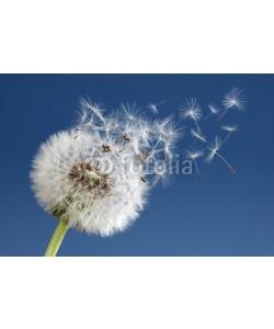 Brian Jackson, Dandelion clock dispersing seed