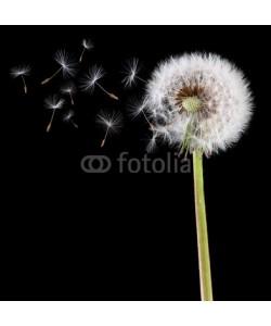 Brian Jackson, Dandelion seeds in the wind