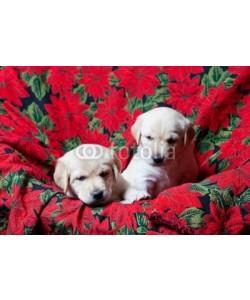 Brenda Carson, Lab Puppies