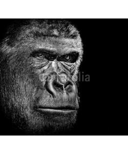 byrdyak, Gorilla portrait
