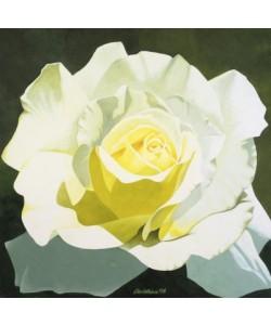 Christian, Little Snow White (White Rose)