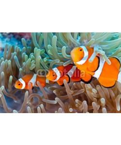 crisod, Clownfish