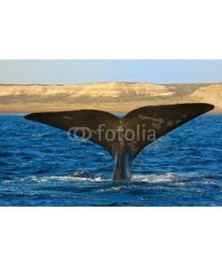 elnavegante, Right whale in Patagonia, Argentina.