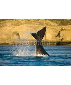 elnavegante, Right whale in Peninsula Valdes, Patagonia, Argentina