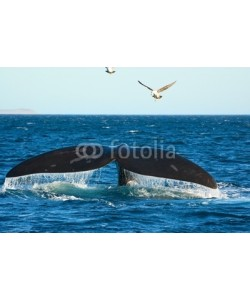 elnavegante, Southern Right whale in Patagonia, Argentina.