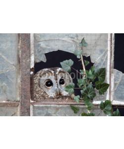 Erni, Tawny owl, Strix aluco