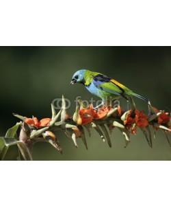 Erni, Green-headed tanager, Tangara seledon