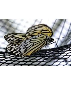 Florian Dürmer, Butterfly Beauties II