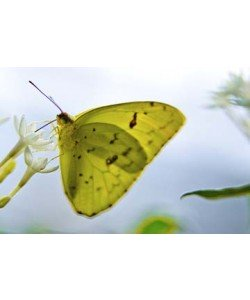 Florian Dürmer, Butterfly Beauties I