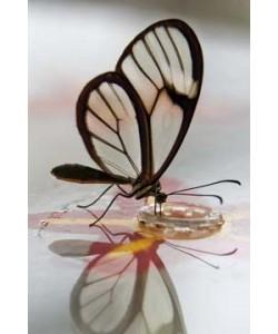 Florian Dürmer, Butterfly Beauties III