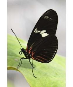 Florian Dürmer, Butterfly Beauties IV