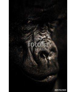 Baranov, Gorilla portrait, Silverback Gorilla