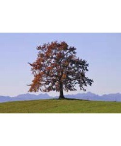 Gerhard Rossmeissl, Der Baum