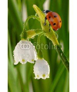 Gerhard Seybert, Marienkäfer auf Knotenblume mit Wassertropfen