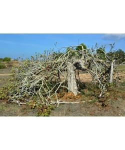 Hady Khandani, THE OLD FIG TREE - FORMENTERA - SPAIN
