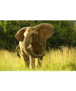 Hady Khandani, AFRICAN ELEPHANT 1