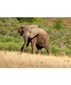 Hady Khandani, AFRICAN ELEPHANT 2