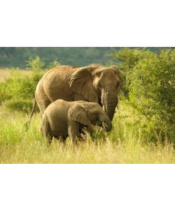 Hady Khandani, AFRICAN ELEPHANTS 1