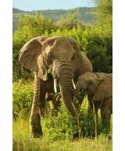 Hady Khandani, AFRICAN ELEPHANTS 2