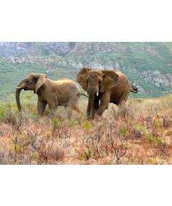 Hady Khandani, AFRICAN ELEPHANTS