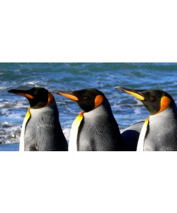 Hady Khandani, KING PENGUINS 9