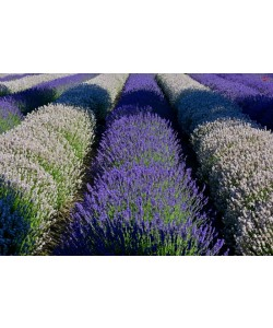Hady Khandani, WHITE AND PURPLE LAVENDER - OLYMPIC PENINSULA - USA 2