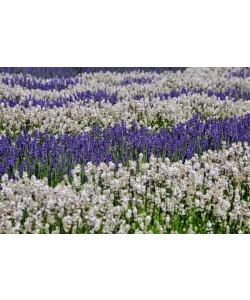 Hady Khandani, WHITE AND PURPLE LAVENDER - OLYMPIC PENINSULA - USA 3