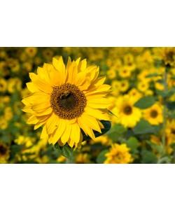 Rolf Fischer, Honigbiene im Sonnenblumenfeld