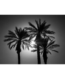 Assaf Frank, Palm Trees II
