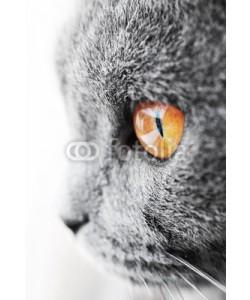 Jiri Foltyn, British blue cat detail
