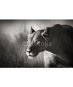 JohanSwanepoel, Lioness stalking