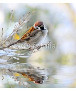 Kletr, The House Sparrow ( Passer Domesticus)
