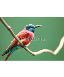 Kletr, The Northern Carmine Bee-Eater (Merops nubicus).