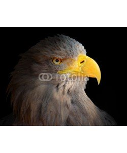 Kletr, The Eagle head - Haliaeetus albicilla .
