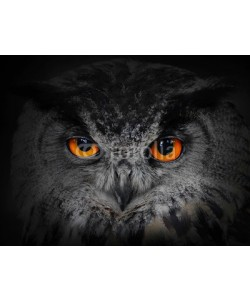 Kletr, The evil eyes. ( Eagle Owl, Bubo bubo).