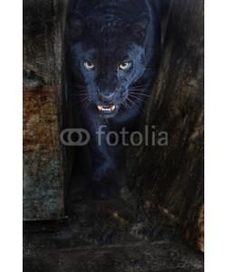 kyslynskyy, Leopard