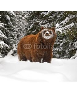 kyslynskyy, Brown bear