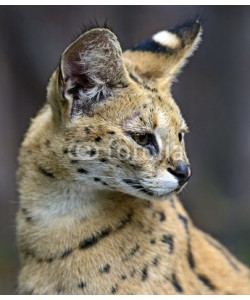 kyslynskyy, Portrait of a serval in nature