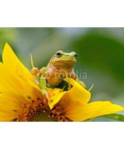kyslynskyy, Portrait of a tree frog