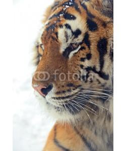 kyslynskyy, Tiger