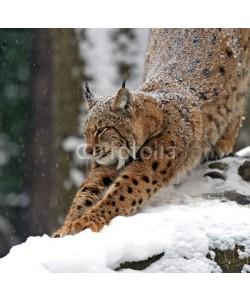 kyslynskyy, Winter Lynx