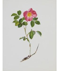 Moritz Michael Daffinger, Französische Rose