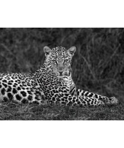 Xavier Ortega, Leopard Portrait