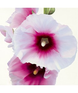 Stephanie Andrew, White Hollyhock I