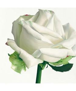 Stephanie Andrew, White Rose I