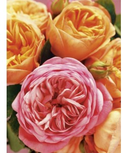 Andrea Tilk, Roses I (Charles Austin)