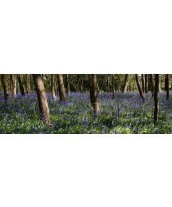 Tom Lambert, Bluebell Wood lI